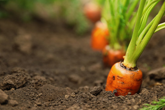 Ripe carrots growing in soil, closeup with space for text. Organic farming