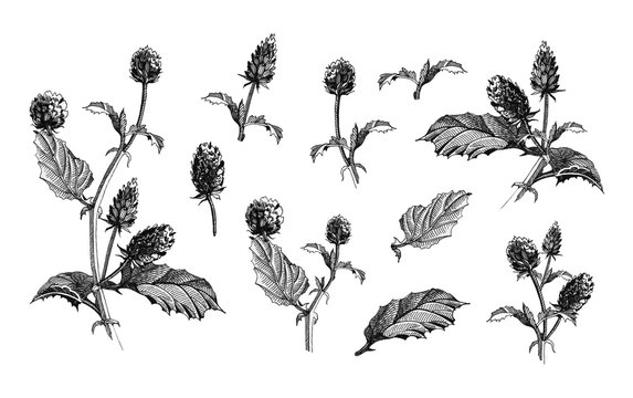 Psoralea corylifolia herb black ink botanical illustration set, flowers and leaves. Hand drawn graphics of natural heathy Bakuchiol herb - natural Retinol.  Isolated on white background.