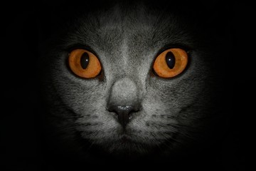 Amber eyes of a cat, close-up with dark outline