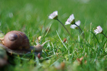 macro of snail in grass with daisies