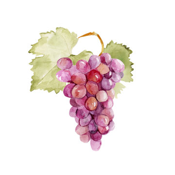 Colorful vector watercolor illustration of ripe pink grape with green leaves isolated on white background. Bunch of fresh grape.