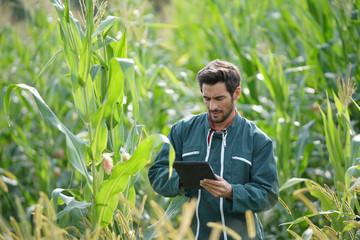 Farmer checking on corn crops