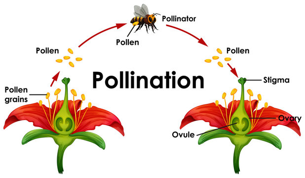 Diagram showing pollination with flower and bee