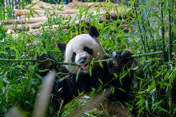 Aluminium Prints Panda Hungry giant panda bear eating green bamboo