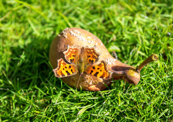 Large tortoiseshell butterfly on the pear