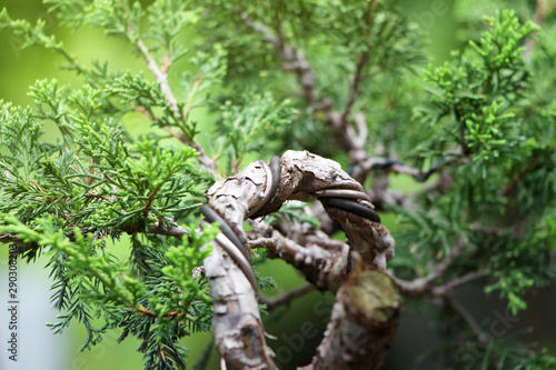 The shape of a bonsai after bending with a wire for too long ... on