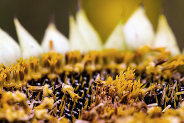 Sunflower with ripe seeds macro close-up
