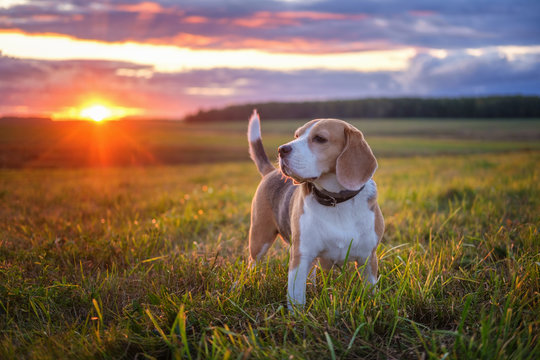 Portrait of a beagle dog on a background of a beautiful sunset sky. beagle while walking in nature