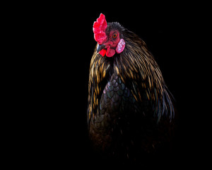 dramatic picture of a rooster with black and gold feathers