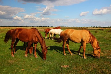 Beautiful horses graze in the pasture in summer