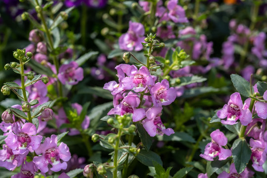 Summer Snapdragon (Angelonia angustifolia) flowers grown at greenhouse