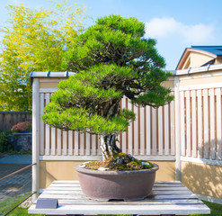 Japanese Black pine bonsai tree in Omiya bonsai village at Saitama, Japan