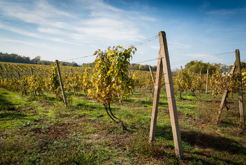 Rows of vineyard after harvesting in Slovakia. Shallow DOF. Space in left side
