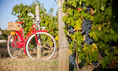 Aluminium Prints Bicycle Vigne au soleil avant les vendanges