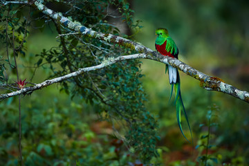 Resplendent Quetzal, Pharomachrus mocinno. Green bird from Costa Rica. Bird with long tail. Wildlife scene from rain forest.