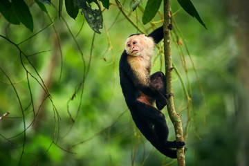 Black monkey sitting on tree branch in the dark tropic forest. White-headed Capuchin, little monkey from rainforest. Wildlife scene with wild animal from Costa Rica.