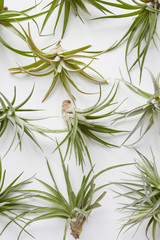 Collection of air plants