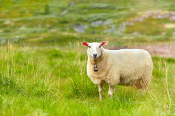 Sheep standing on meadow in sunny day. Scene from Norwegian mountain pastures. Cute sheep with a bell