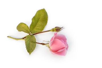 Rose liegt auf weißem Hintergrund
