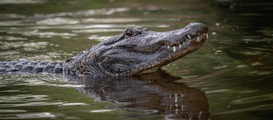 Fotorolgordijn Krokodil Alligator