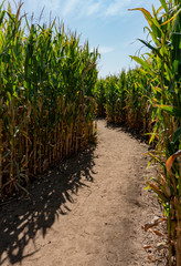 Winding Dirt Path Inside Corn Maze in the Fall