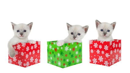 Trio of baby siamese kittens sitting in colorful Christmas presents lined up in a row isolated on white. Fun holiday animal antics banner image.