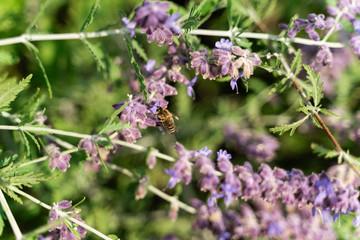 Honey Bee Foraging Nectar from Purple Flower