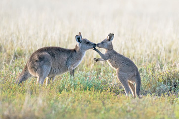 Kangaroo with baby Joey in outback, Australia.