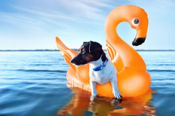 In de dag Zwaan Jack russel terrier having rest on the orange rubber swan
