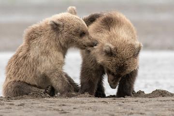 Brown bear (Ursus arctos) cubs playing;   Alaska
