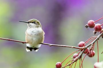 Closeup of a hummingbird in the garden Fotoväggar