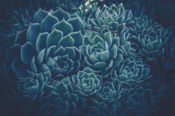 Close up of succulent plants vintage style.