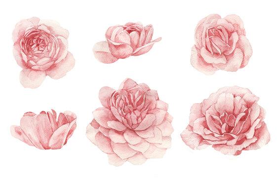 Blush isolated rose buds