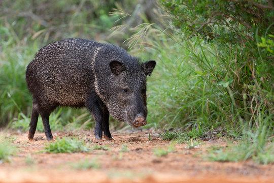 Wild Javelina (Peccary) in Southern Texas