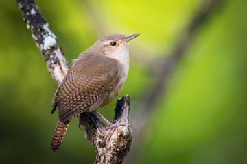 Aluminium Prints Bird Troglodytes aedon, House wren The bird is perched on the branch in nice wildlife natural environment of Trinidad and Tobago..