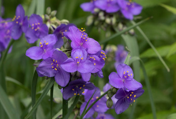 Beautiful Wild Spiderwort Flower in Nature Preserve