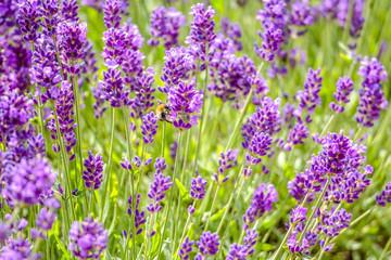 Blooming garden lavender flowers, purple background.