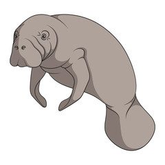 Color illustration with manatee, a sea cow. Isolated vector object on a white background.