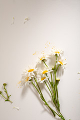 Chamomile flowers on white background and copy-space