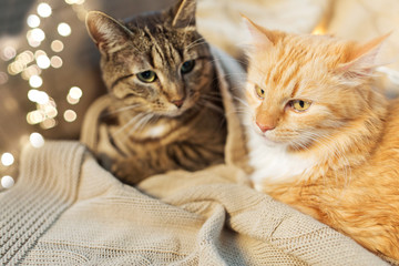 Fototapete - pets, christmas and hygge concept - two cats lying with blanket at home in winter