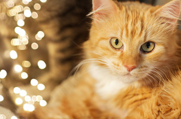 Fototapete - pets and domestic animal concept - close up of red tabby cat