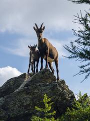 Tremenico, Lecco, Itay, August 16, 2019 - Steinbocks on mountain Legnone at 1820 m altitude