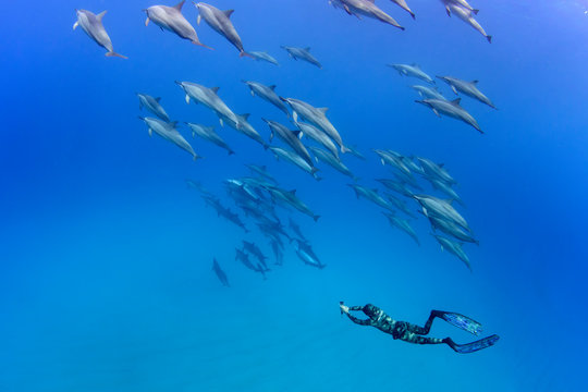 Pod of Spinner Dolphins and A Freediver