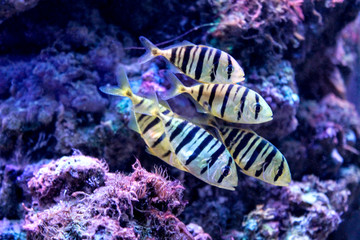Marine background with black and yellow coral reef fish shoal. Relaxing sea and ocean life backdrop with blue water. Underwater inhabitants. Diving or oceanarium or aquarium picture