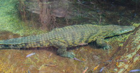 Acrylic Prints Crocodile Krokodil schwimmt unter Wasser, Südafrika