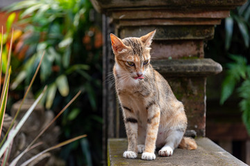 the Homeless cat is sleeping on the wall Traditional Balinese temple, Bali city, Indonesia