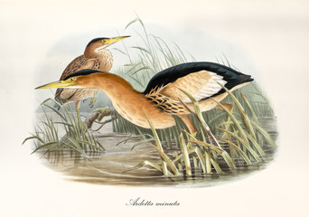 Orangish long beaked aquatic bird looking for food in a pond vegetation. Watercolor style vintage illustration of Little Bittern (Ixobrychus minutus). By John Gould publ. In London 1862 - 1873