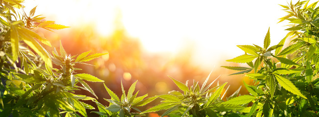 Fotobehang Bloemenwinkel Cannabis With Flowers At Sunset - Sativa Herb - Legal Marijuana