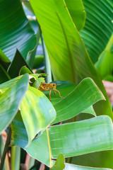 Florida  Eastern lubber grasshopper (Romalea guttata) in Tropical Plant