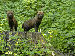 A bush dog, Speothos venaticus, stands on a large tree stump watching the surroundings